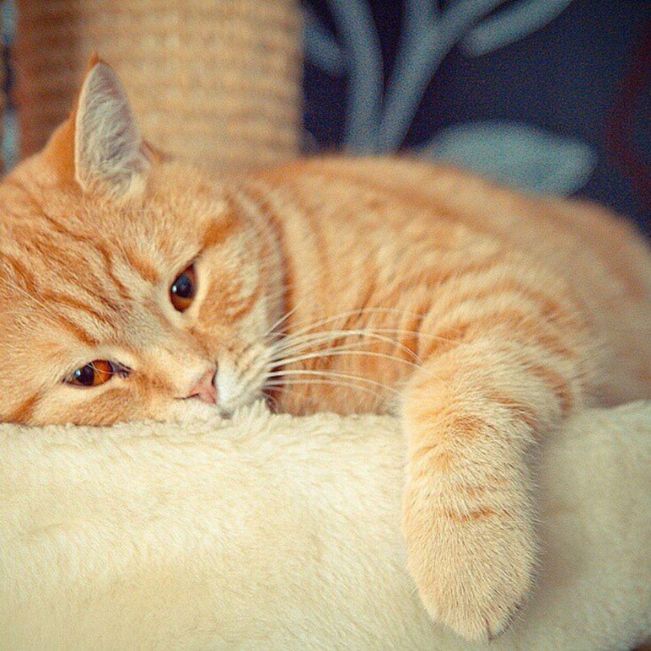 British Shorthair Sune ligger och Chillar Nofilter cat