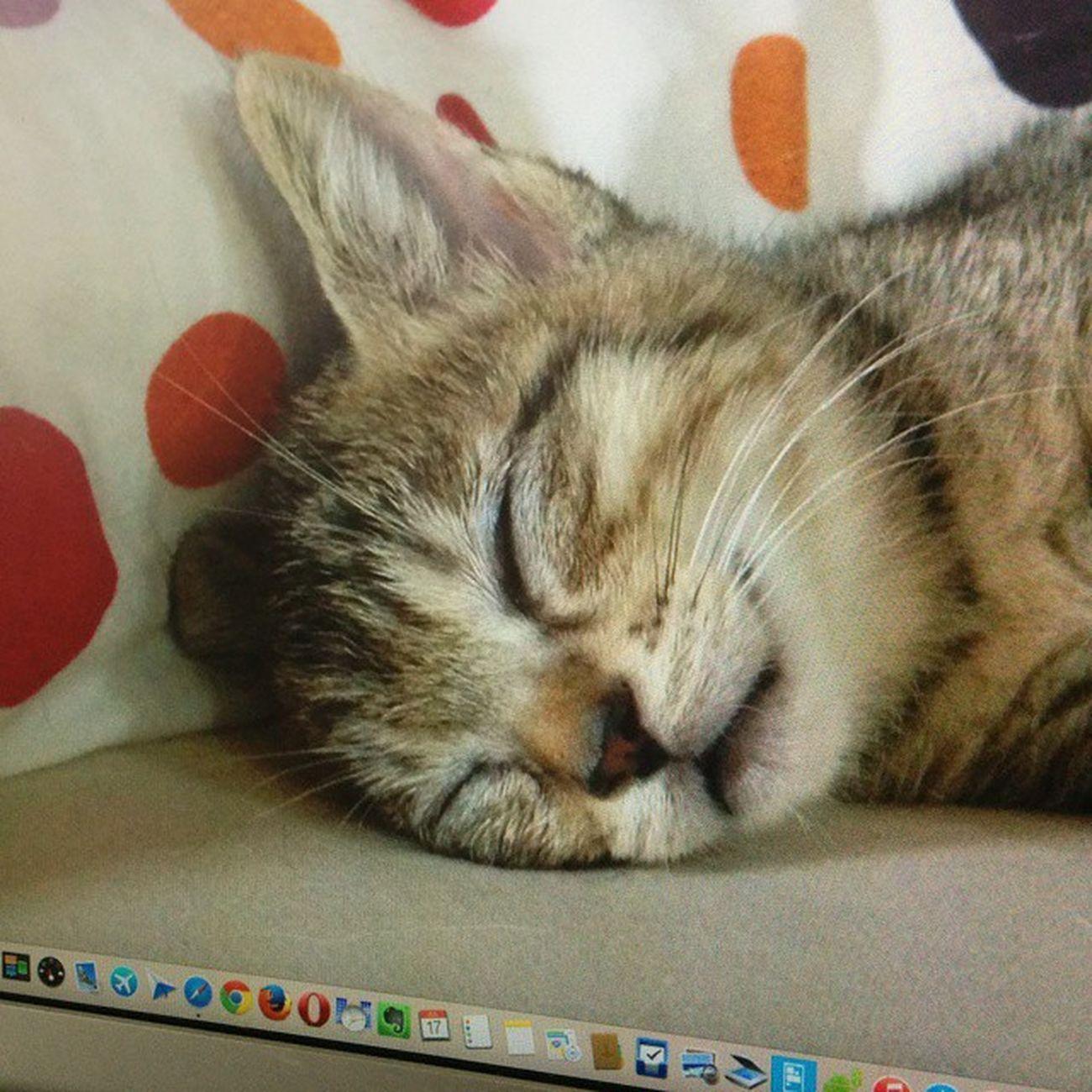 Mac Desktop 壁紙 どたま祭 cat neko ねこ 猫 ネコ cats teto tetoko キジトラ テト 家のMac miniの壁紙のテトでおはようございます??