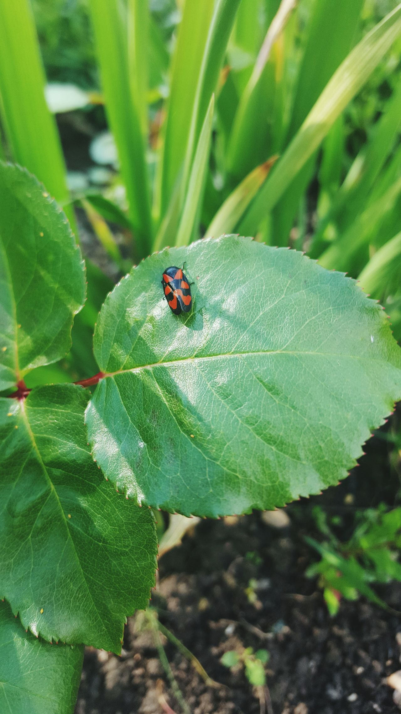 Insect Leaf Animals In The Wild Ladybug One Animal Green Color Animal Themes Close-up Outdoors Day Nature No People Red Plant