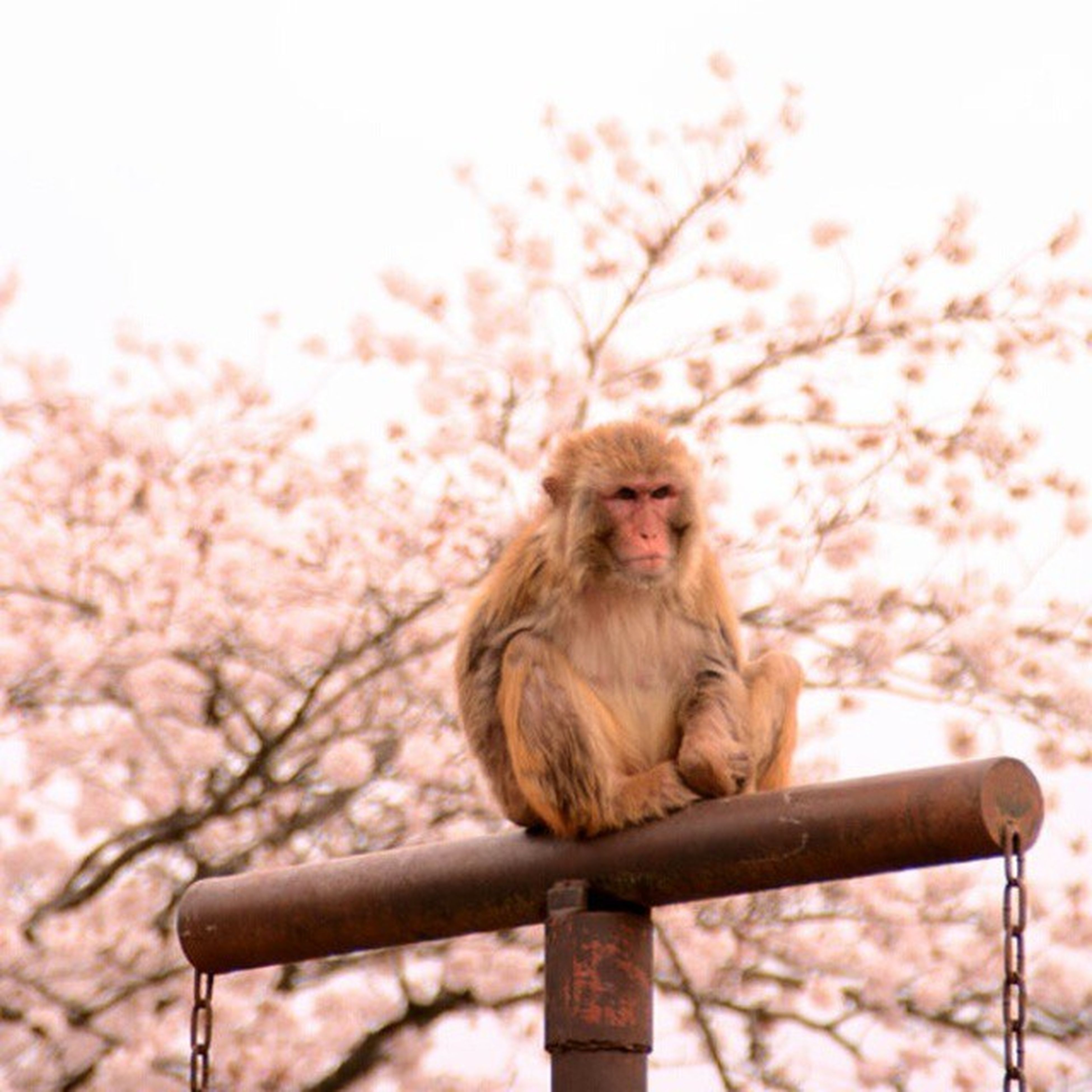 tree, animal themes, one animal, mammal, low angle view, branch, focus on foreground, monkey, sitting, nature, wildlife, outdoors, domestic animals, day, sky, clear sky, full length, pets, no people, animals in the wild
