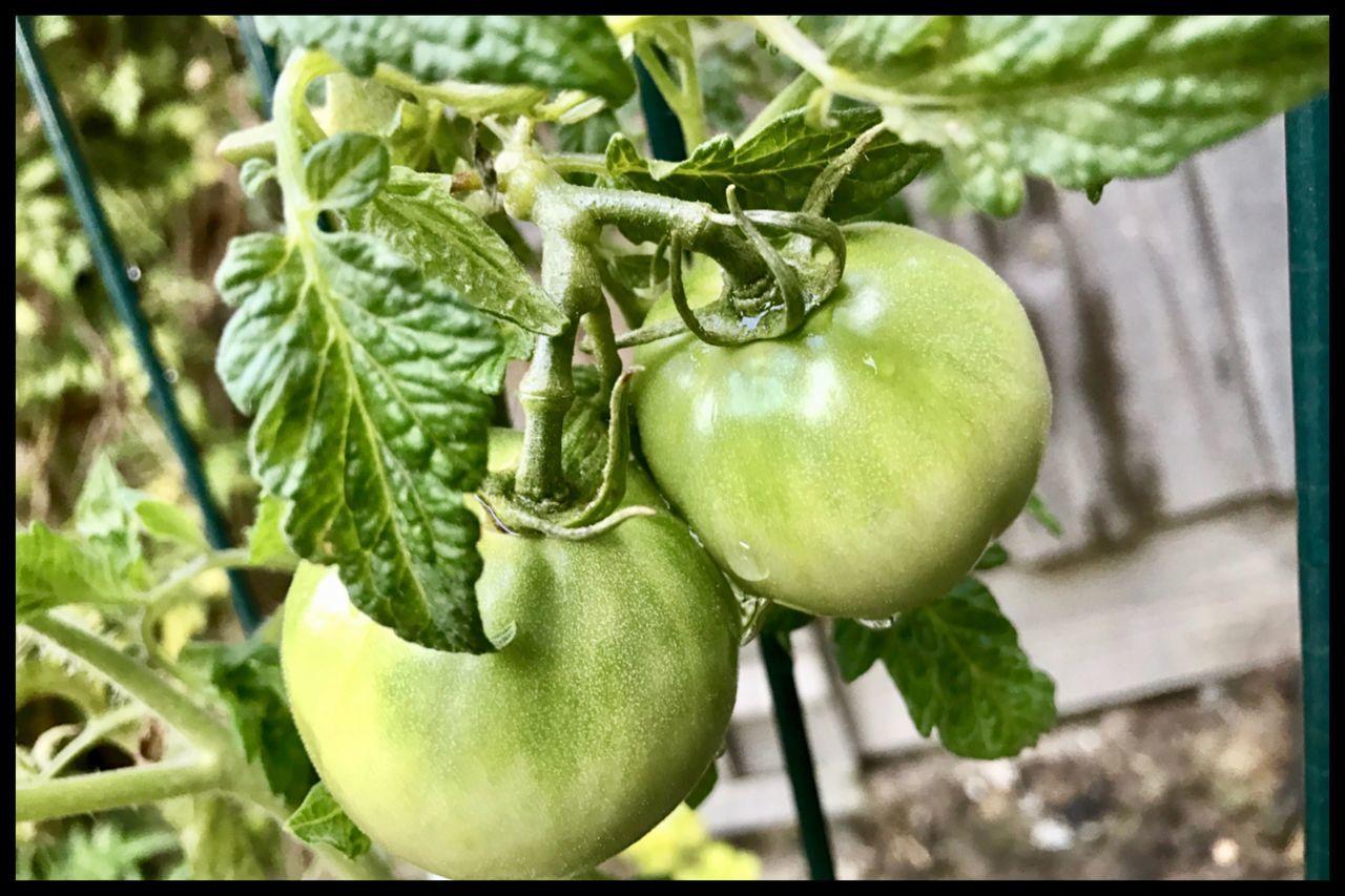 Tomato's 🍅 Tomato Tomatos Growing Vegetable Plant Eyeem Food  🍅