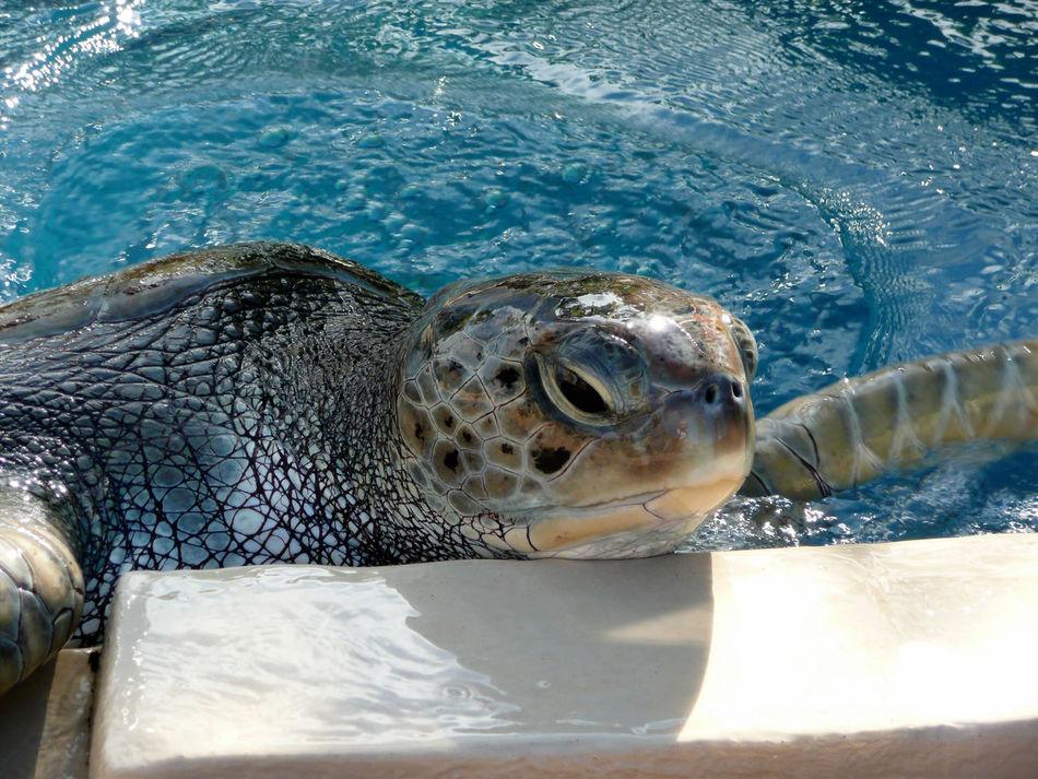 Amphibian Animals In The Wild Bad Mood Brasilien Close-up Griesgram No People One Animal Schildkröte Schlechte Laune Sea Turtle Swimming Tortoise Shell Turtle Water