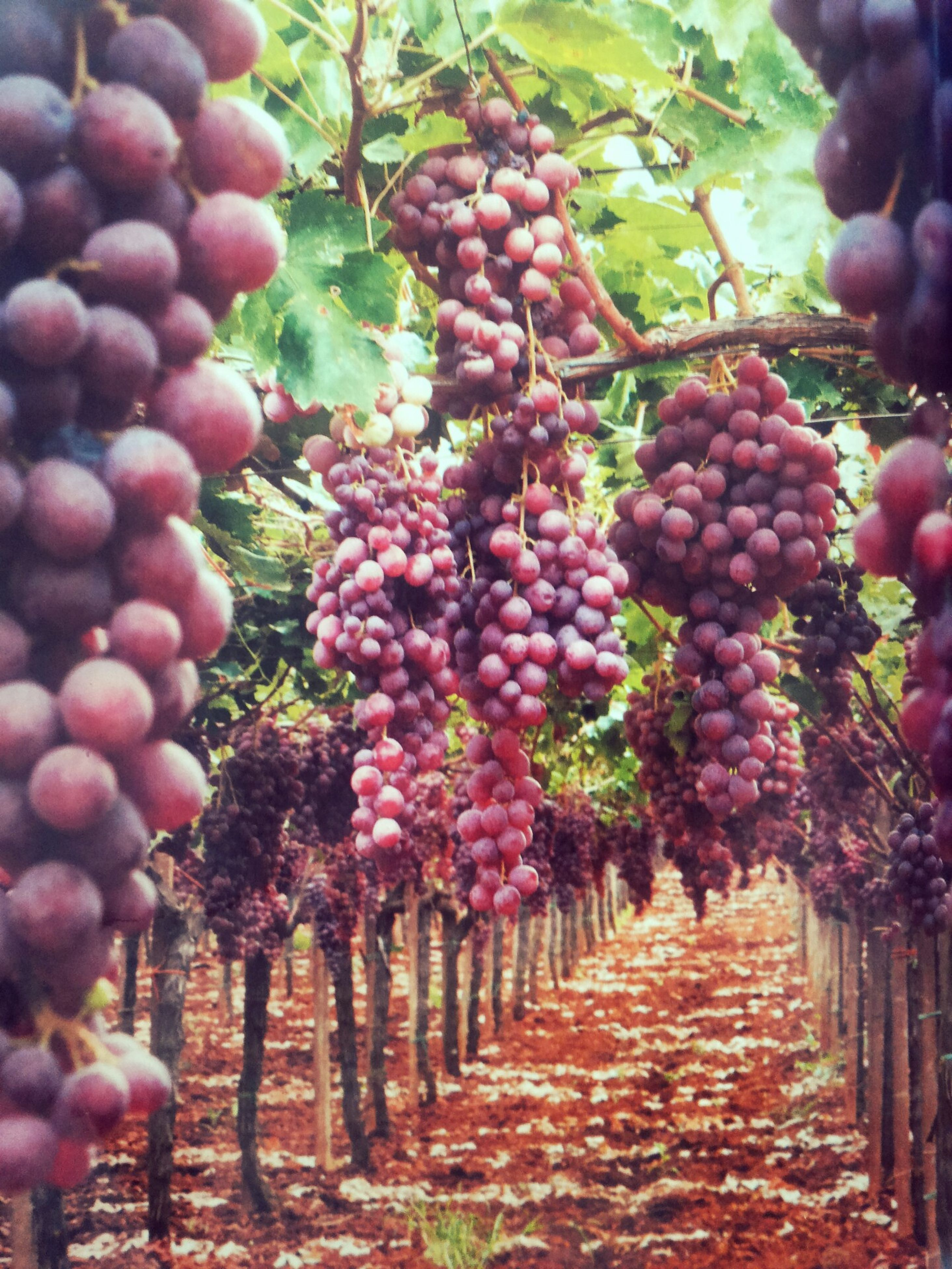 fruit, food and drink, freshness, healthy eating, tree, food, vineyard, growth, abundance, hanging, agriculture, ripe, large group of objects, bunch, leaf, branch, grape, vine, red, outdoors