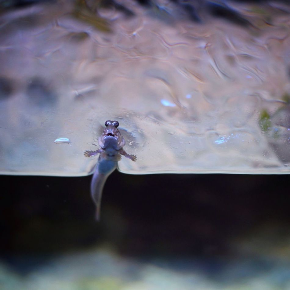 Another one... Shooting Fish In A Barrel Aquarium Fish Mudskipper