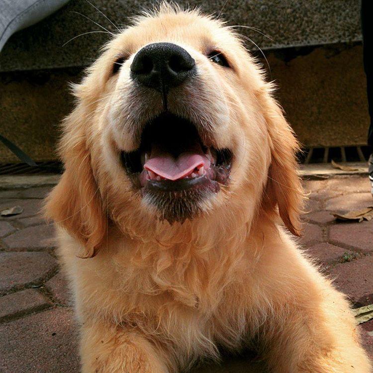Hi! I'm Gamble!🐶💕🐾 Goldenretriever Iwantone Burnhamparkbaguio dog nexus5photography