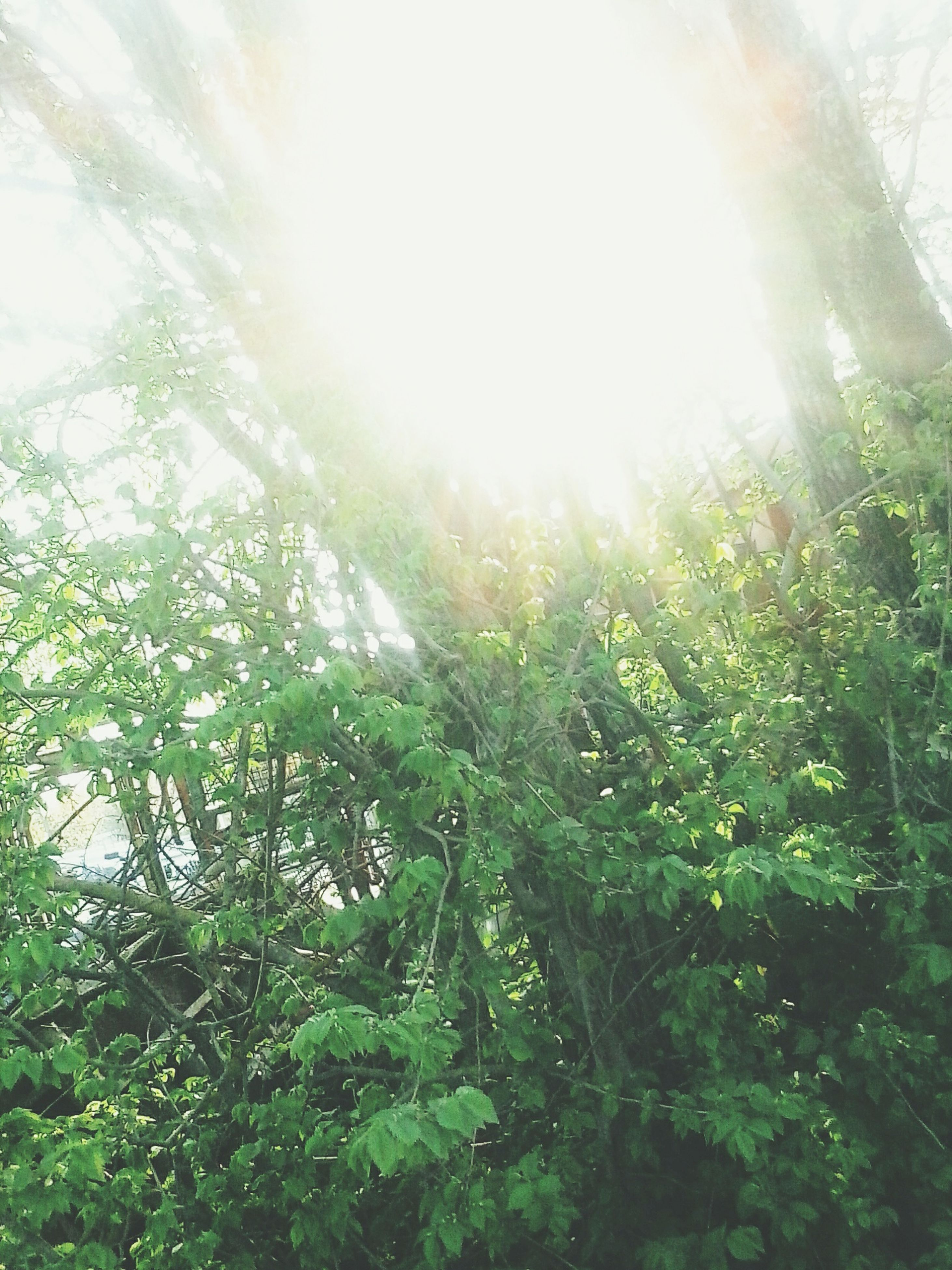 sun, sunbeam, lens flare, sunlight, growth, tree, nature, tranquility, beauty in nature, bright, sunny, sky, plant, low angle view, tranquil scene, green color, day, scenics, back lit, outdoors