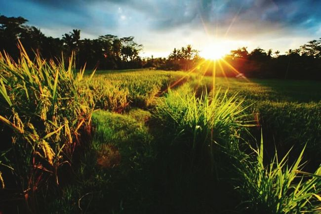 Sun Rise Sunlight Beauty In Nature My View This Morning.. Grass Tree Sun Green Color Padiș Padi Nature Grassy Sunbeam Beautiful Nature How Are You Guys ?  Im Back !!! (:  Good Day Poeple ❤️❤️ Lovely Weather
