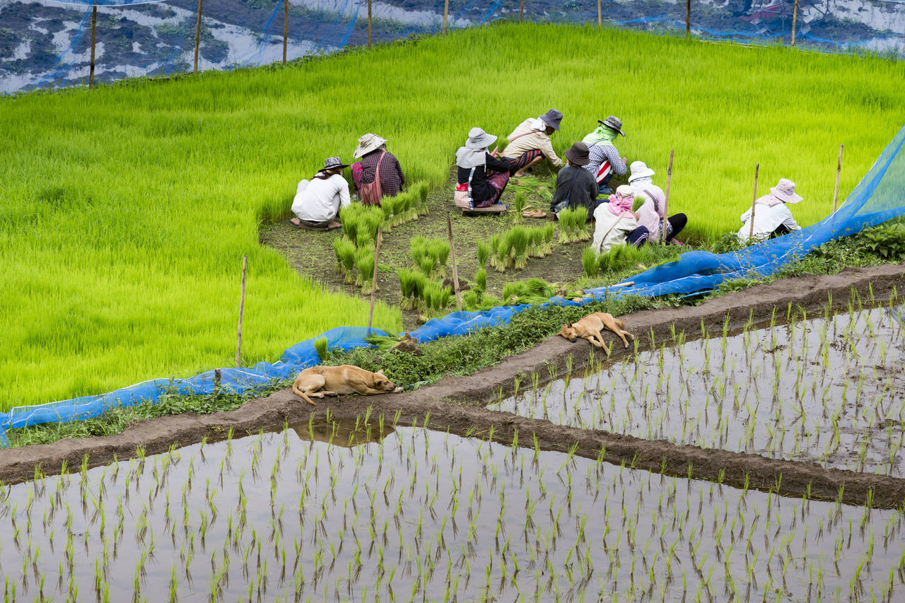 Field Green Color Group Of People Growth Outdoors Plant Rice Field Rice Seeding Seeding Top View Water Eyeem Nature Beauty In Nature EyeEm Gallery Highquality