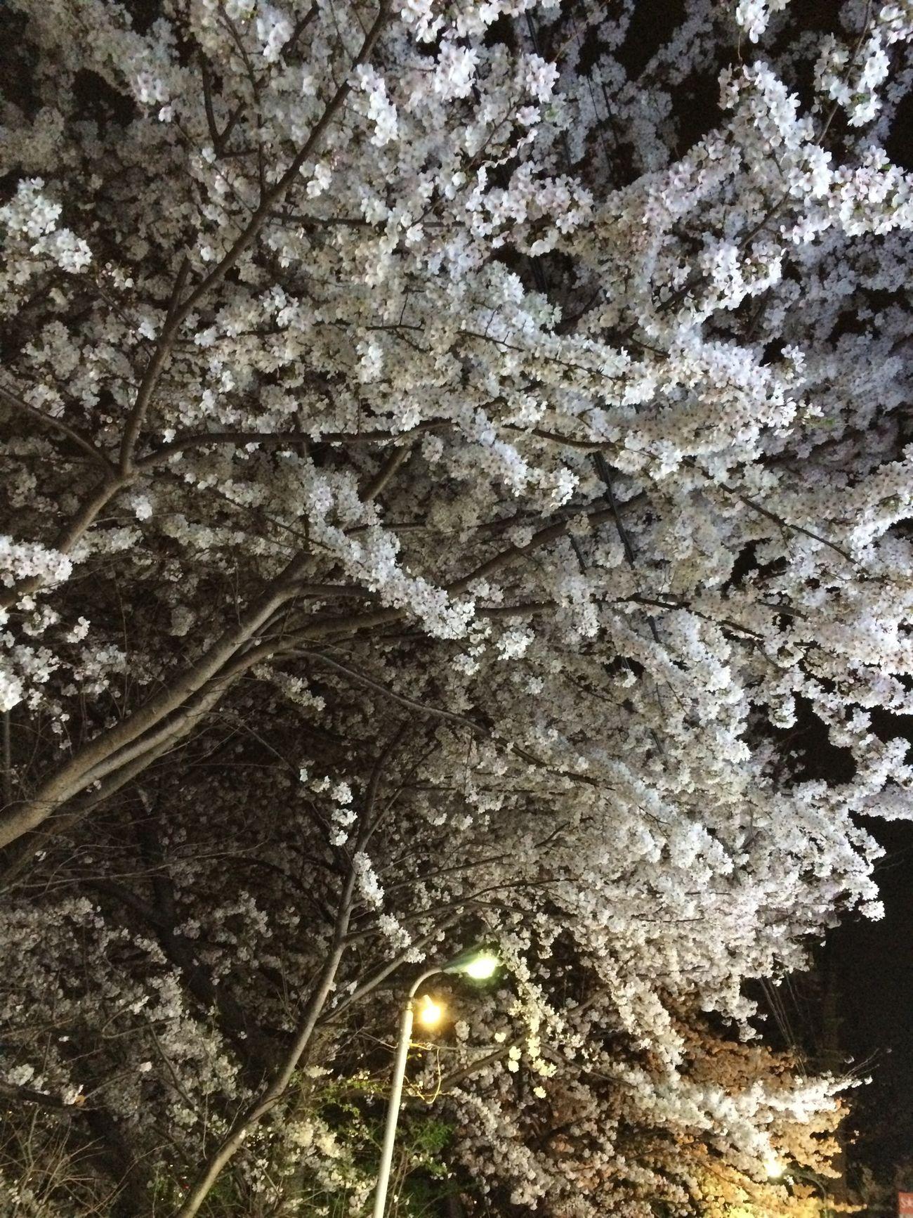 LAWSONの看板の灯りに照らされる夜桜
