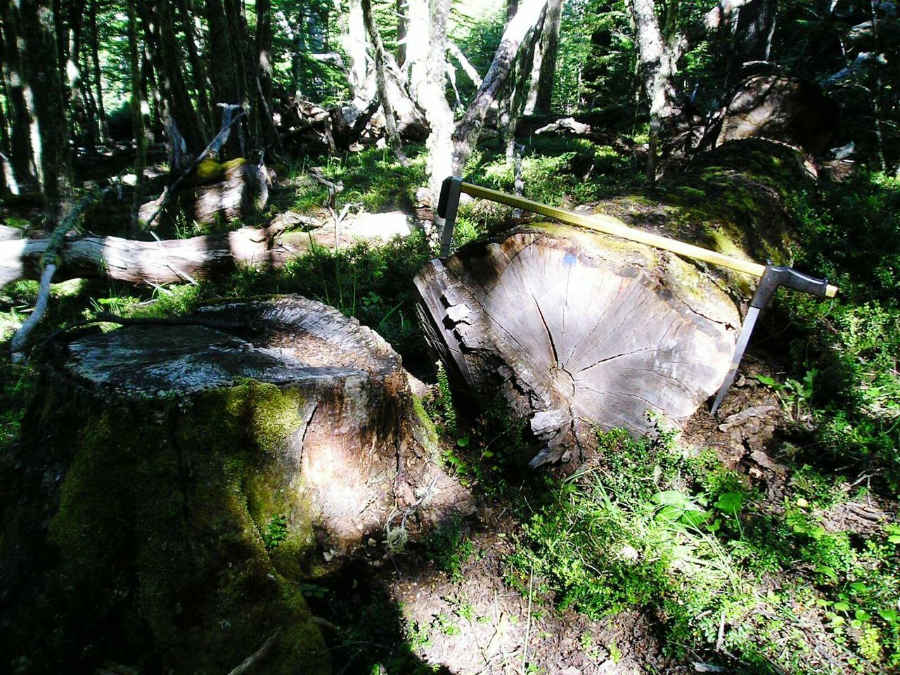Bosque Tronco Sustentable Measuring Nothofagus Logs árbol Medir Medicion Forest Log Silvicultura Silviculture