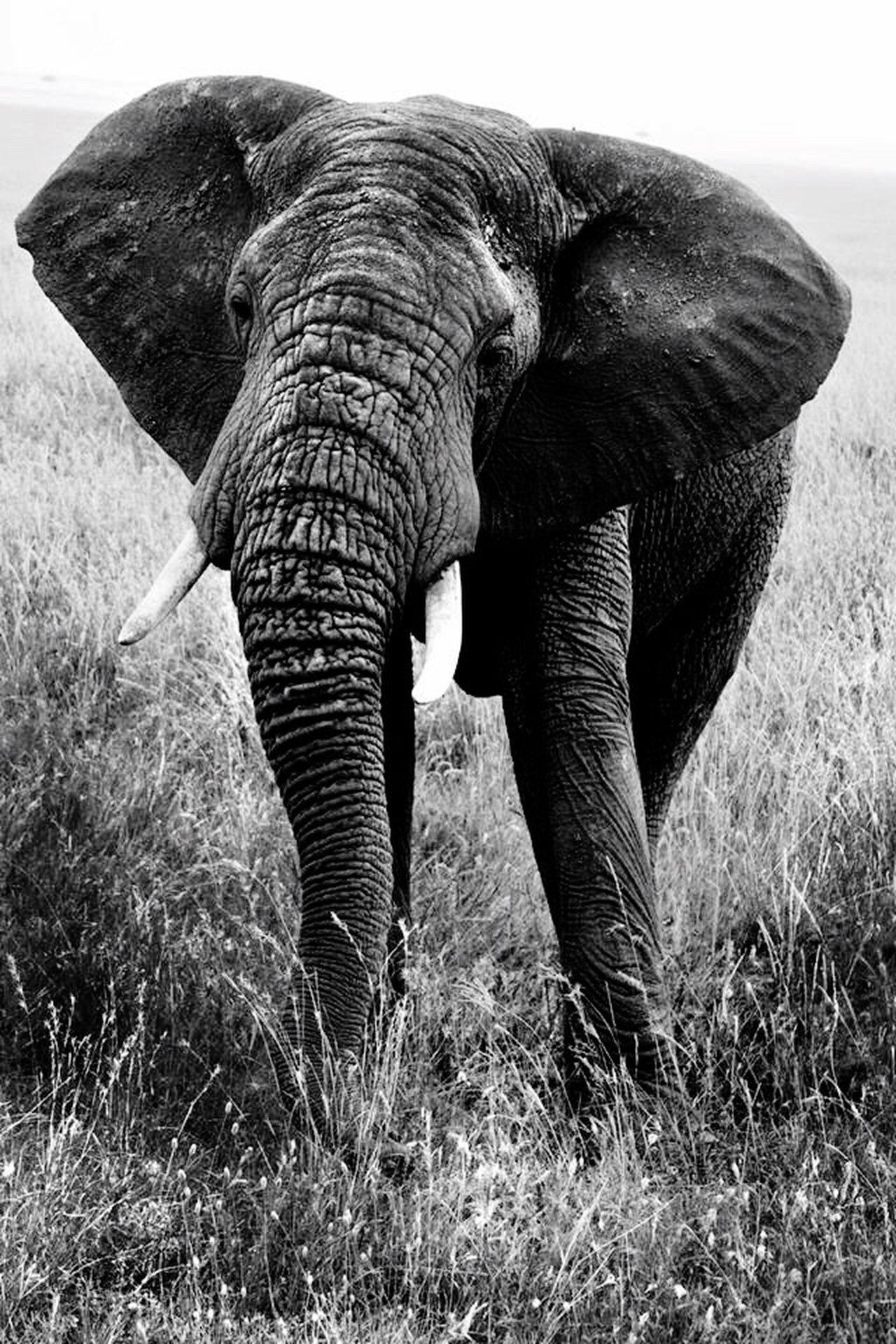 Elephant Serengeti National Park African Elephant Blackandwhite