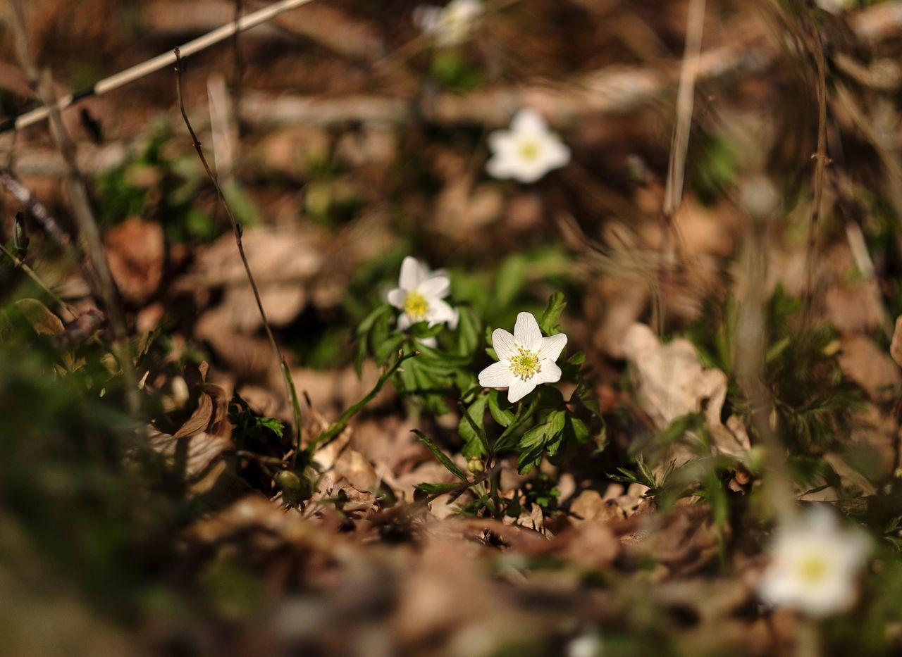 Vitsippor Taking Photos FUJIFILM X-T1 Fujifilm Easter Påsk Woods Skogen Flowers Wood Anemone Anemone Nemorosa