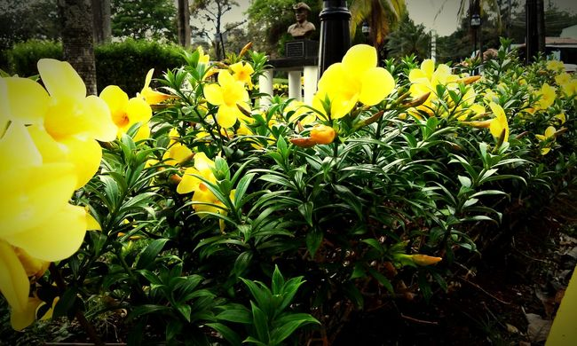 Parqueomar Panamá Yellow Flower Yellow Streetphotography Beautiful