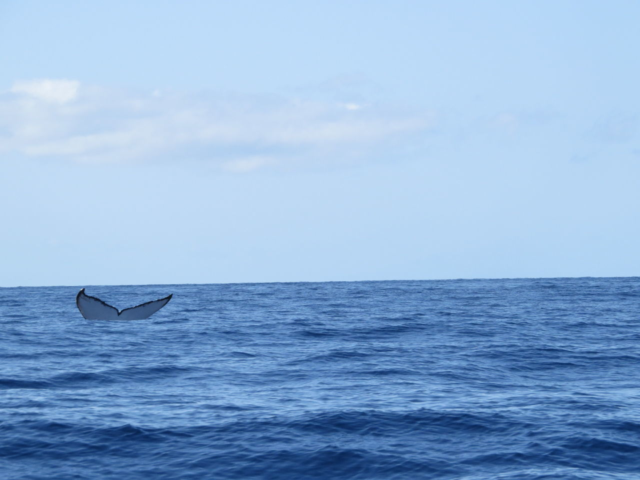Beautiful stock photos of blue whale, Animal Themes, Blue, Horizon Over Water, Lahaina