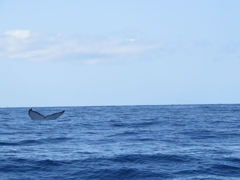 Beautiful stock photos of whale, Animal Themes, Blue, Horizon Over Water, Lahaina