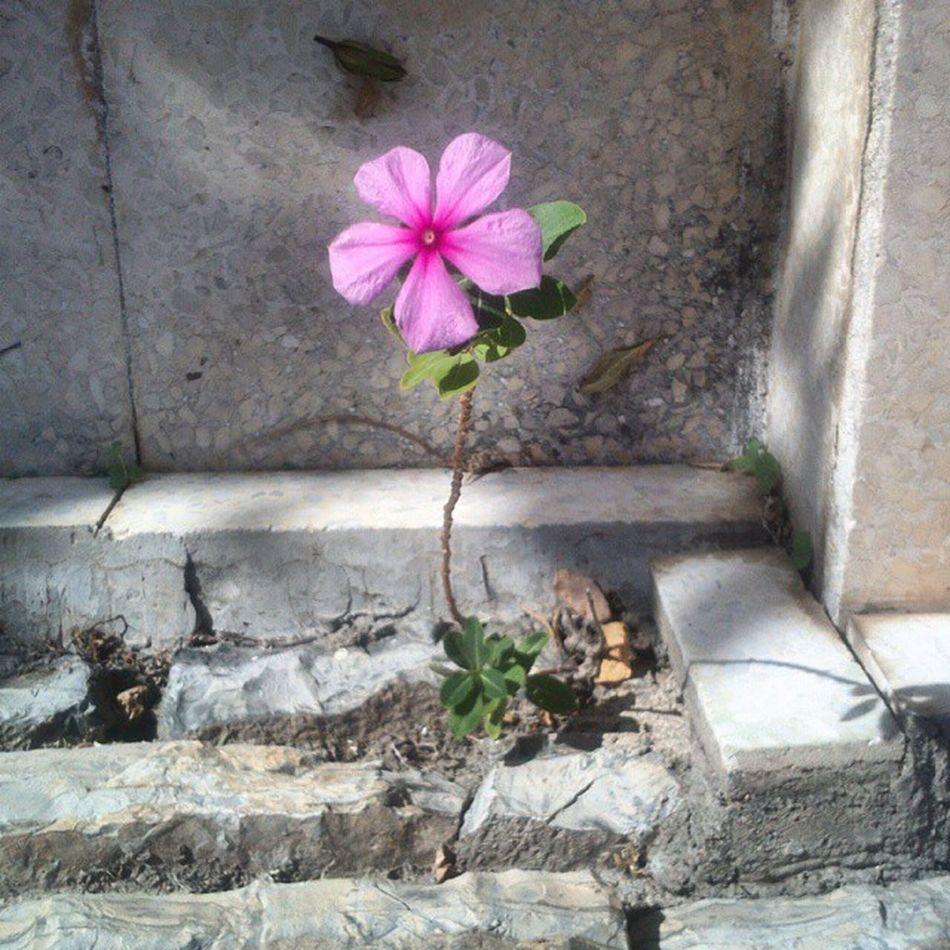 Beton arasından çıkan rozet çiçeği. Bodrum Akyarlar Bağla Flower çiçek pembe pink fotoğraf photo photography muğla turkinstagram instagramturkey garden instagood instagram