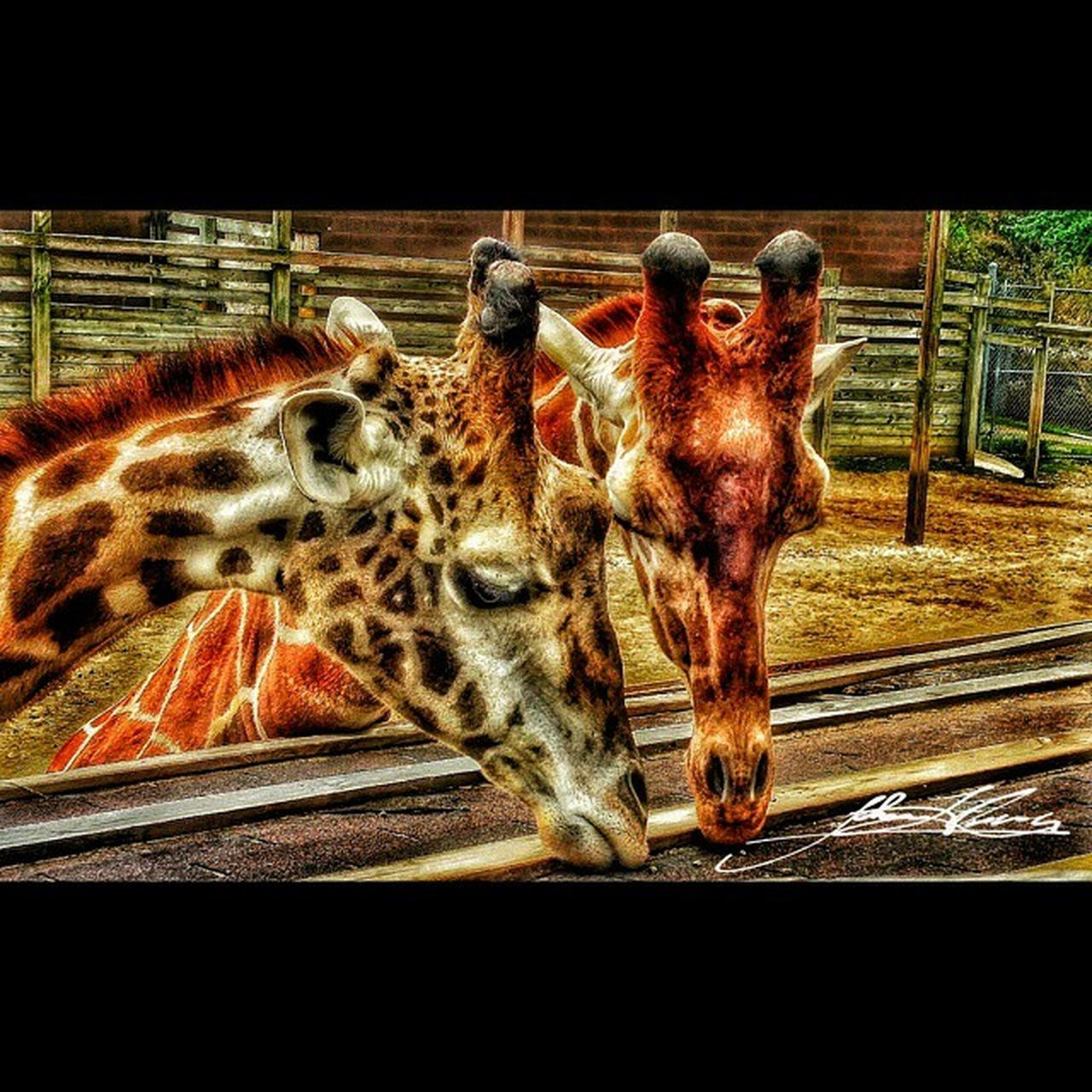Squareinstapic @studio8apps Emotions Love Nature Photography Petsandanimals Spring Zoo Friends Thankful Giraffes Richmondmetrozoo ichmondmetrozoo Pettingzoo Zooanimals Giraffesarecool Feedinggiraffes