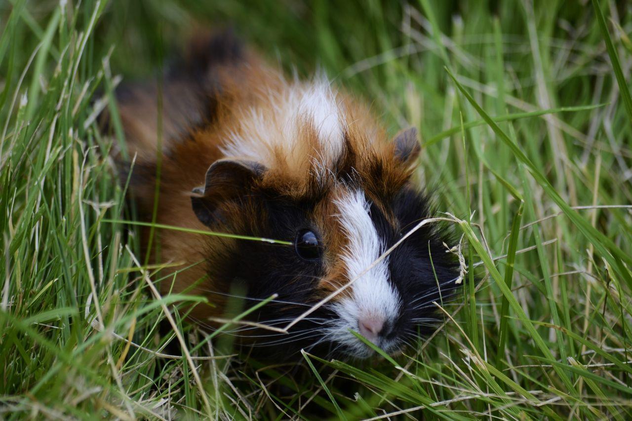 Beautiful stock photos of guinea-pigs, Animal Body Part, Animal Eye, Animal Hair, Animal Head