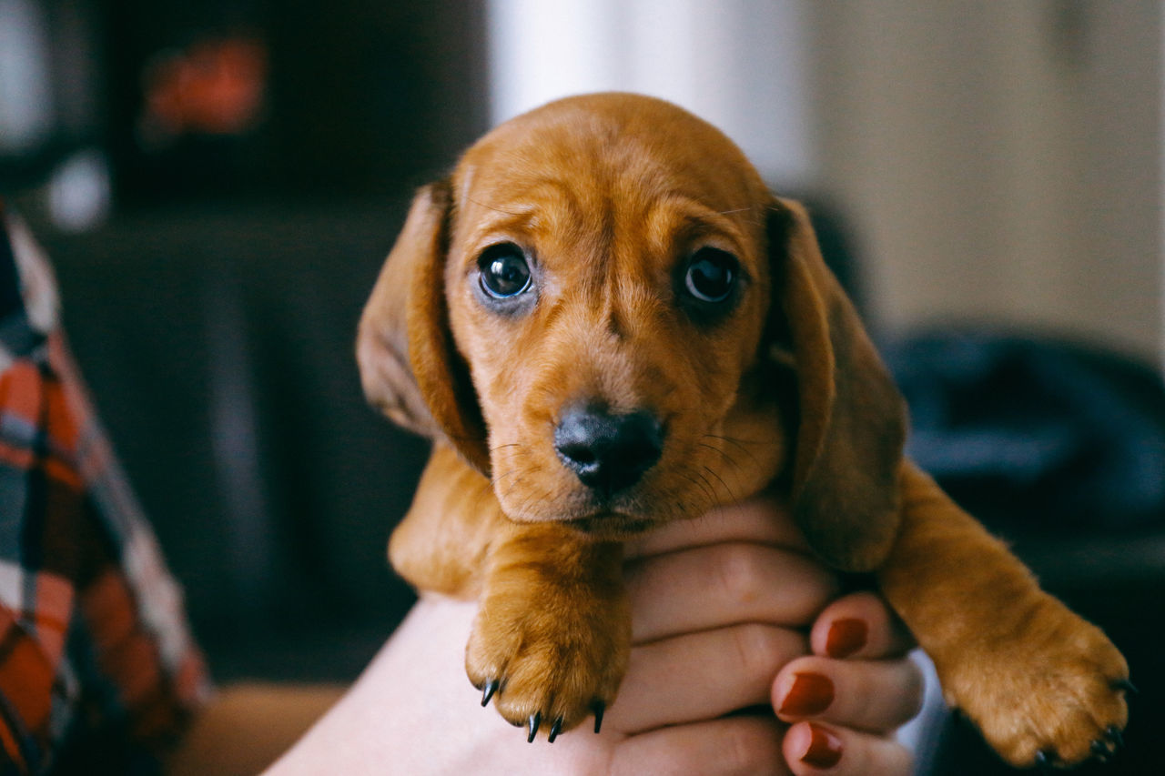 Beautiful stock photos of puppy,  Animal Themes,  Brown,  Brown Eyes,  Care