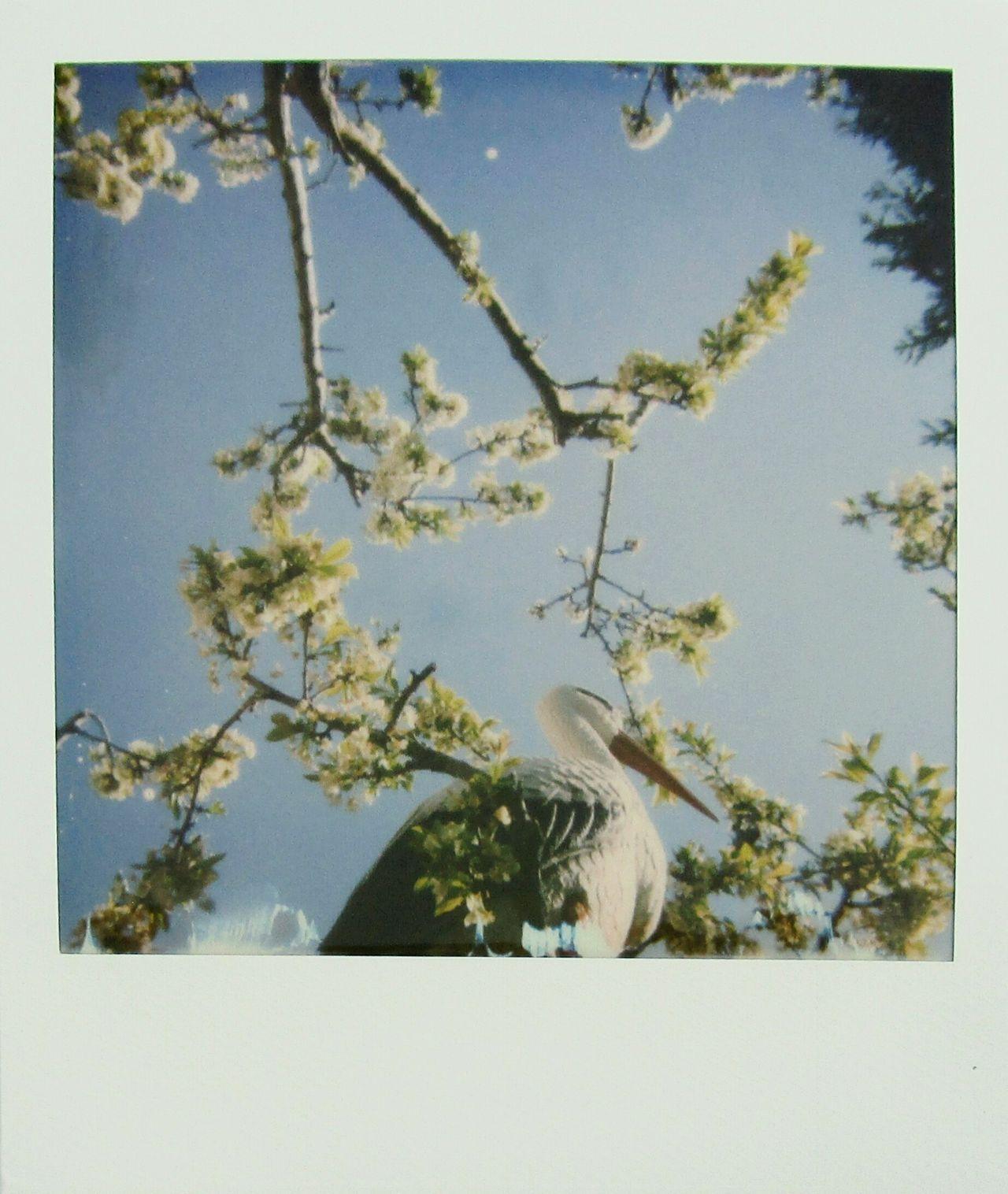 Plum tree Polaroid Photography MyArt Outdoors Nature Garden Instantphoto Polaroid 600 Real Polaroid Trees