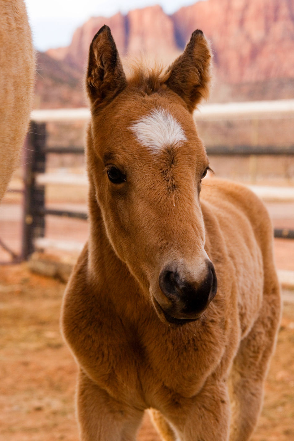 So cute baby Horse Looking At Camera Portrait Animal Themes Animal Head  Brown Horselove HorseNAround Horselovers Utah Horse Life Baby Animals Babylove Baby Horse Foal Foals