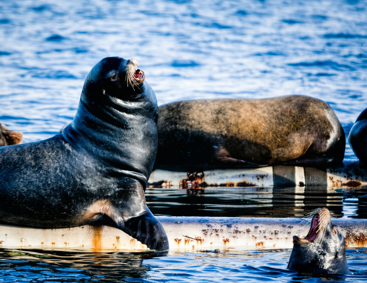 Animal Themes Animal Wildlife Animals In The Wild Aquatic Mammal Day Mammal Nature No People One Animal Outdoors Sea Sea Life Sea Lion Sealions Swimming Water