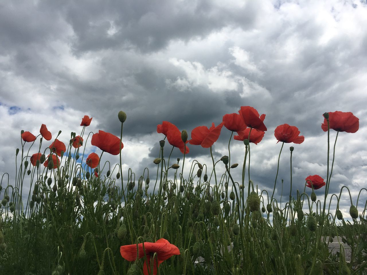 Cloud - Sky Field Flower Nature Beauty In Nature Growth Poppy Red Sky Plant Fragility Day Outdoors Grass Freshness One Person Flower Head People Poppy Flowers Poppies  Flowers,Plants & Garden Flowers