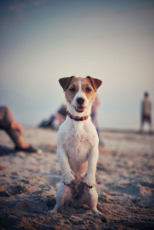 Beach Cute Cute Dog  Dog Happy Dog Jack Russel Terrier Jack Russell Jackrussell Looking At Camera Outdoors Pets Portrait Posing Dog Sand Sea Small Sunset First Eyeem Photo