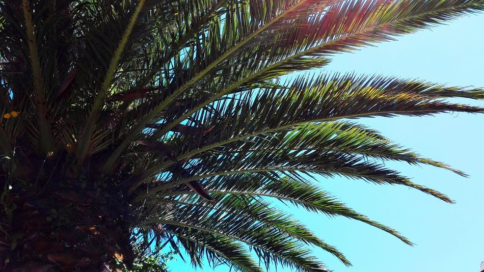 Palmera Palm Tree Sun Between Trees Palm And Sky Summer Palm