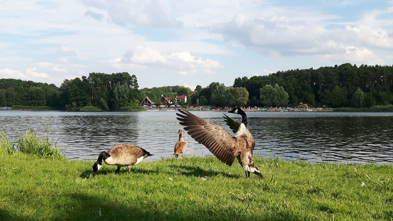 When you pose and nobody cares... Animal Themes Animal Bird Birds Brant Brants Goose Geese Geese Family Wild Geese Wild Goose  Animals Lake Lake View Nature Tranquility Landscape Wildgans Wildgänse Badesee See Natur Rothsee Water Meadow