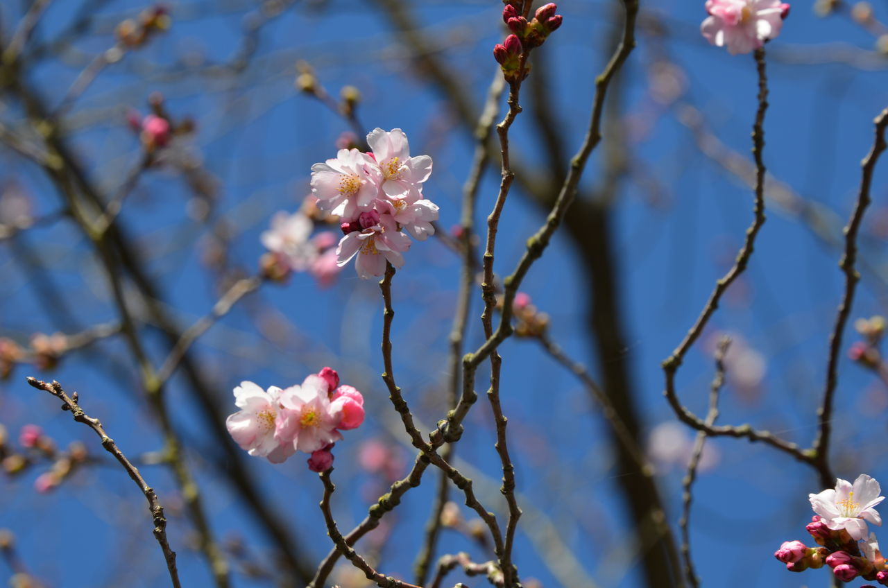 Blue Sky Pink Color Pink Cherry Blossom Cherry Tree Springtime Pink Flower Flower Outdoor