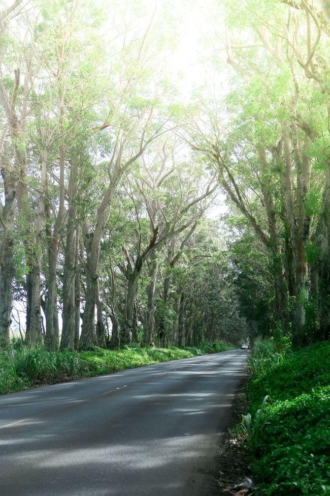Maluhia Tree Tunnel Eucalyptus Tree Trees Kauai