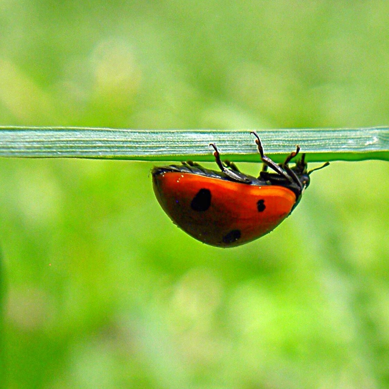 Insect Animal Themes One Animal Animals In The Wild Focus On Foreground Close-up Nature No People Natural Simplicity Green Nature Spotted Green Color Grass Ladybird Ladybug Ladybeetle Upside Down Red Nature Leaf Red Ladybug Day Outdoors Tiny