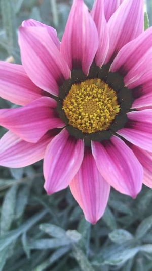Flowers Pink Beauty Mexicali Baja California Nofilter Things I Like