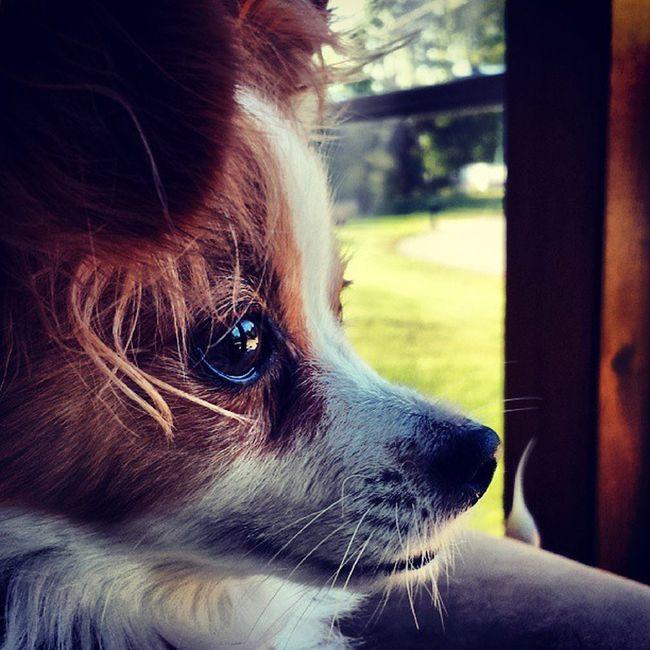 Puppy Papillion Dog