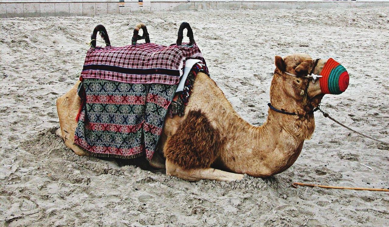 Beautiful stock photos of camel, Animal Themes, Camel, Day, Domestic Animals