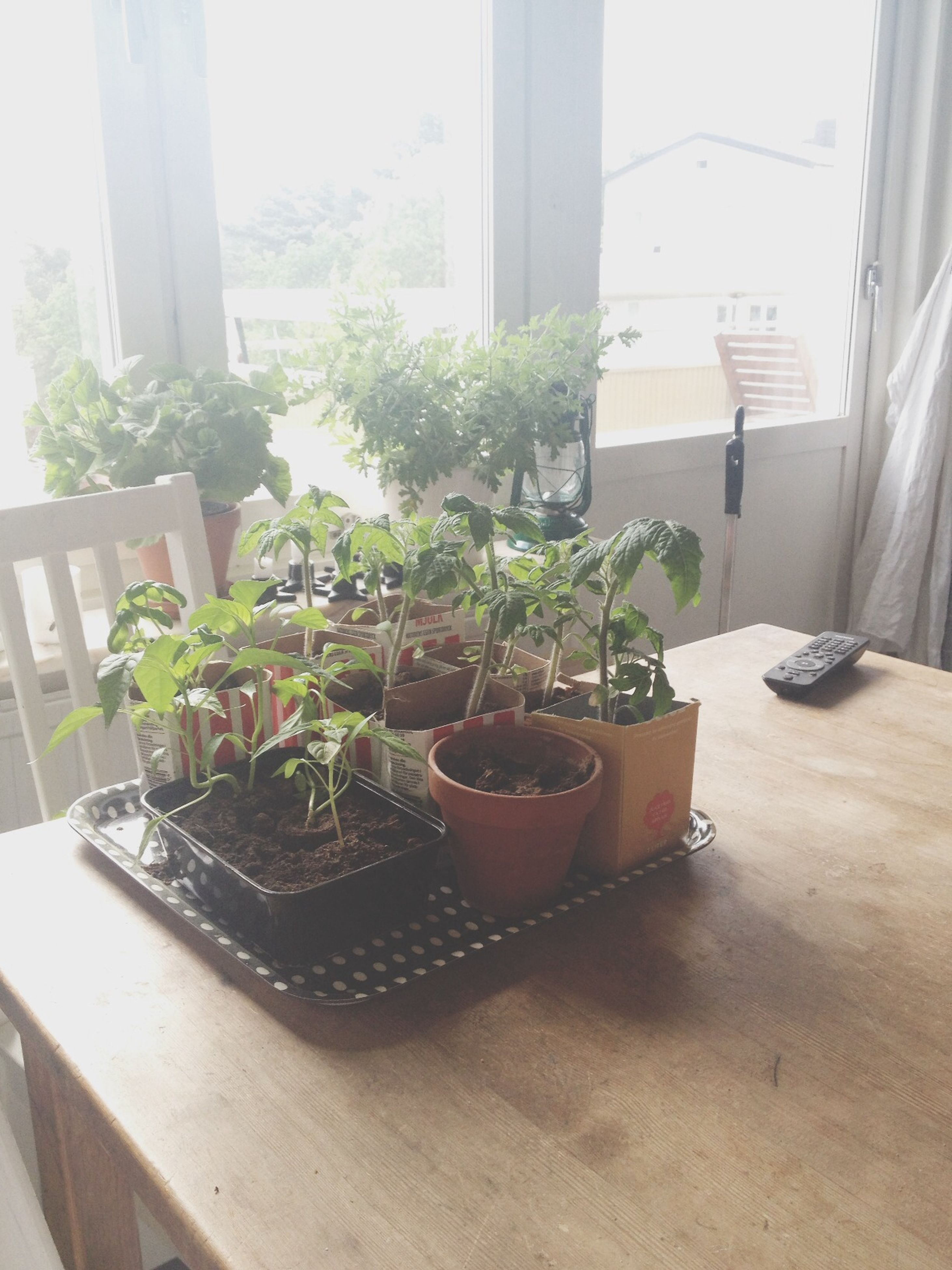indoors, potted plant, table, plant, window, growth, home interior, chair, house, leaf, vase, flower pot, glass - material, pot plant, window sill, built structure, architecture, houseplant, day, sunlight