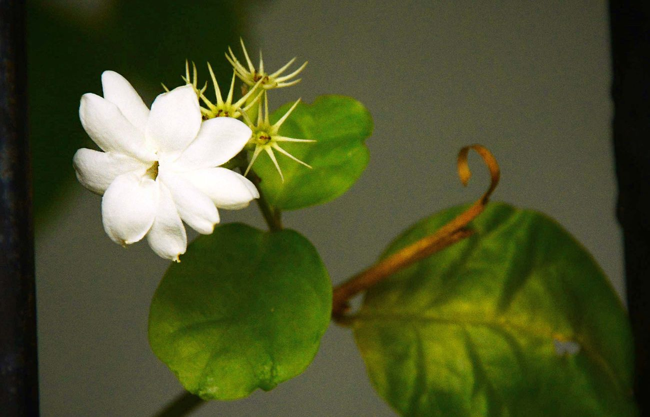 Jasmine Flower Beauty In Nature Blooming Close-up Day Flower Flower Head Fragility Freshness Growth Jasmine Jasmine Flower Nature No People Outdoors Plant