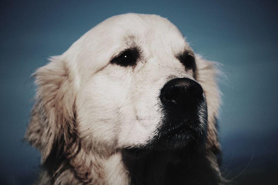 In love. Golden Retriever I Love My Dog My Dog Is A Model  Beach My Dog Is Cooler Than Your Kid. Sun EyeEm Dogs Ghiro