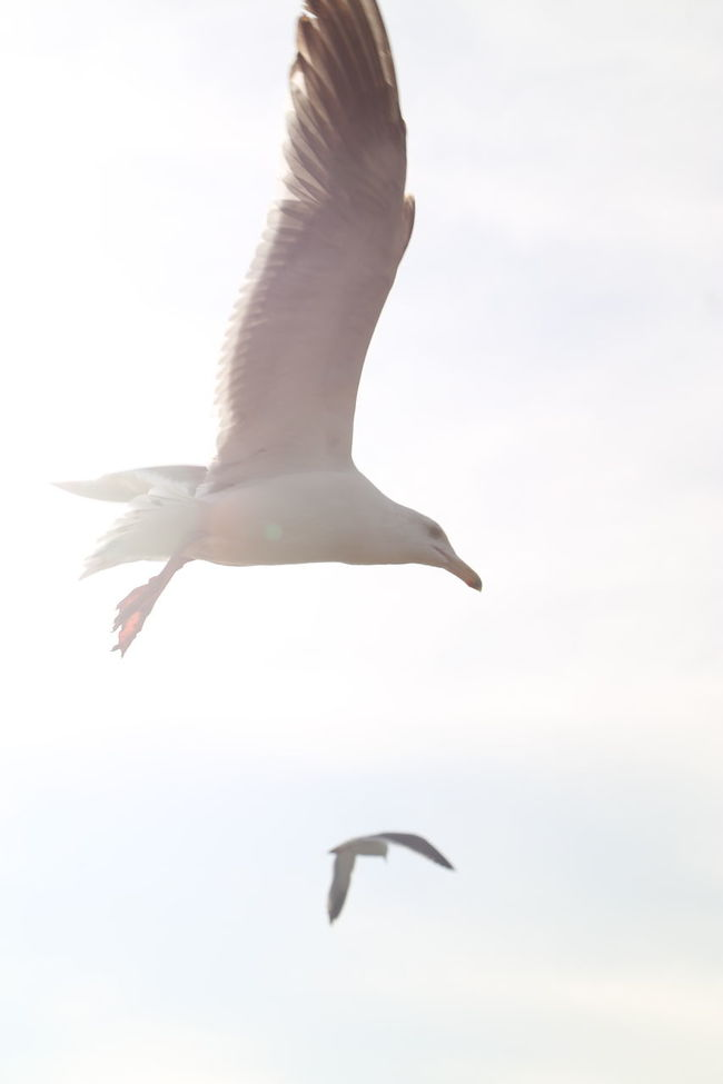 Animal Bird Day Flying Freedom Mid-air Motion Oceanside Outdoors Seagull Spread Wings White Bird