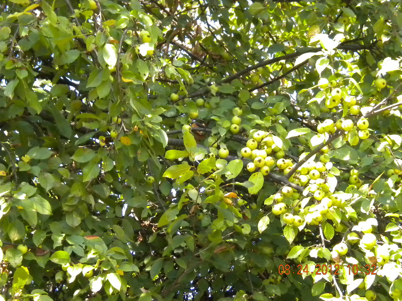 growth, fruit, tree, green color, nature, food and drink, leaf, day, outdoors, freshness, low angle view, citrus fruit, food, no people, healthy eating, beauty in nature, agriculture, plant, branch