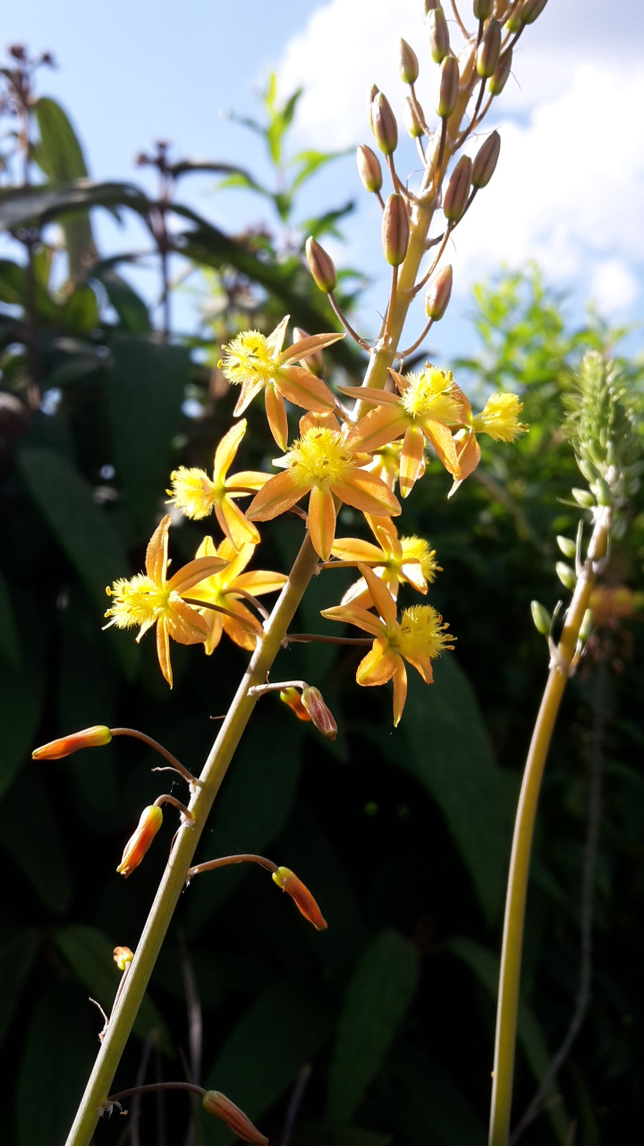 Bulbine Frutescens Medicuspflanze Nahaufnahme 43 Golden Moments