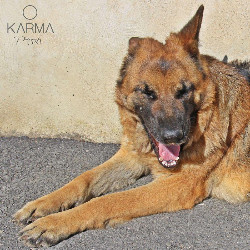 Smile Dog Dogslife German Shepherd Ginebra PastorAleman Sonrisa EyeEmNewHere