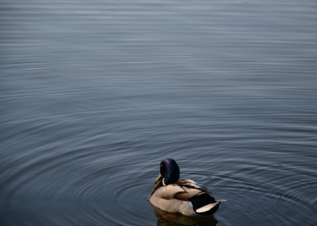 Duck Lake Water Reflections Nature Blue Space Water Water Ripples Simple Animal Calm