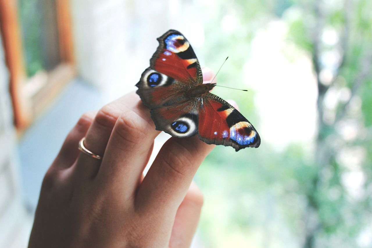Beautiful stock photos of schmetterling, one animal, animal themes, human hand, animals in the wild