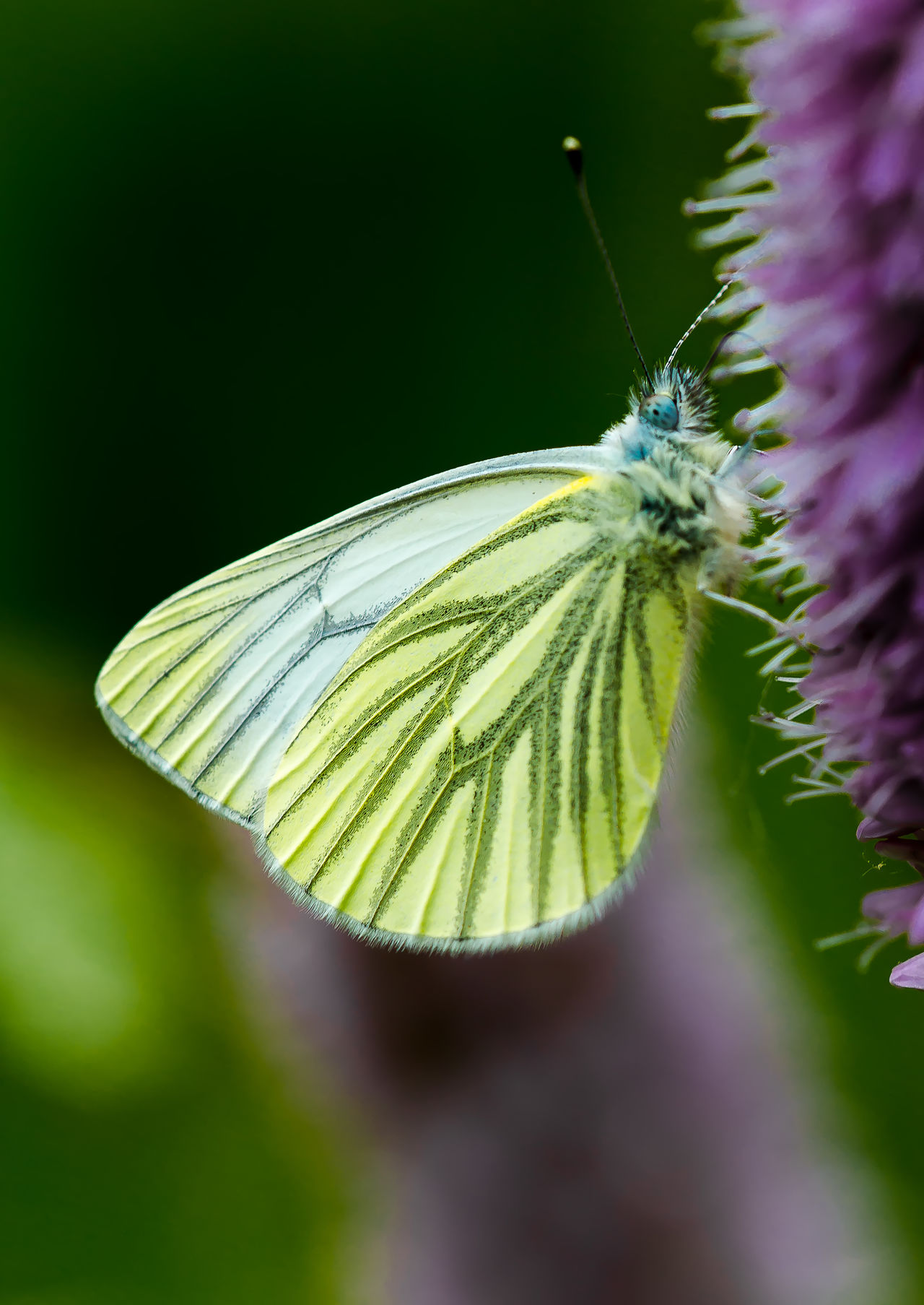 Green Veined White on Flower Animal Themes Animals In The Wild Beauty In Nature Close-up Day Fragility Green Veined White Butterfly Insect Nature No People One Animal Outdoors Wings Closed