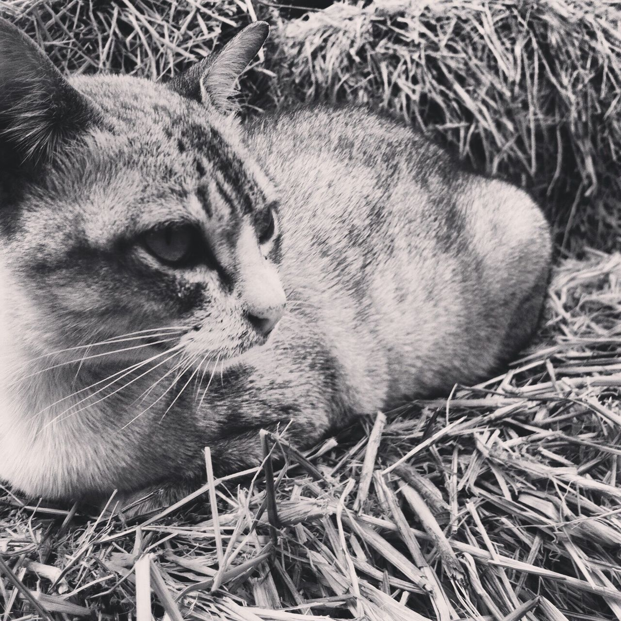 animal themes, one animal, mammal, animals in the wild, no people, feline, day, relaxation, domestic animals, close-up, outdoors, portrait, pets, grass, nature