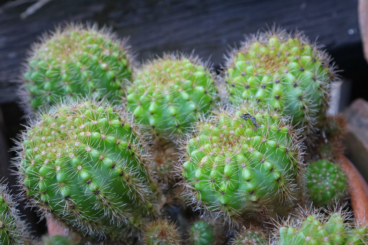 cactus, thorn, growth, green color, plant, spiked, nature, danger, beauty in nature, close-up, risk, no people, outdoors, day, field, prickly pear cactus, freshness