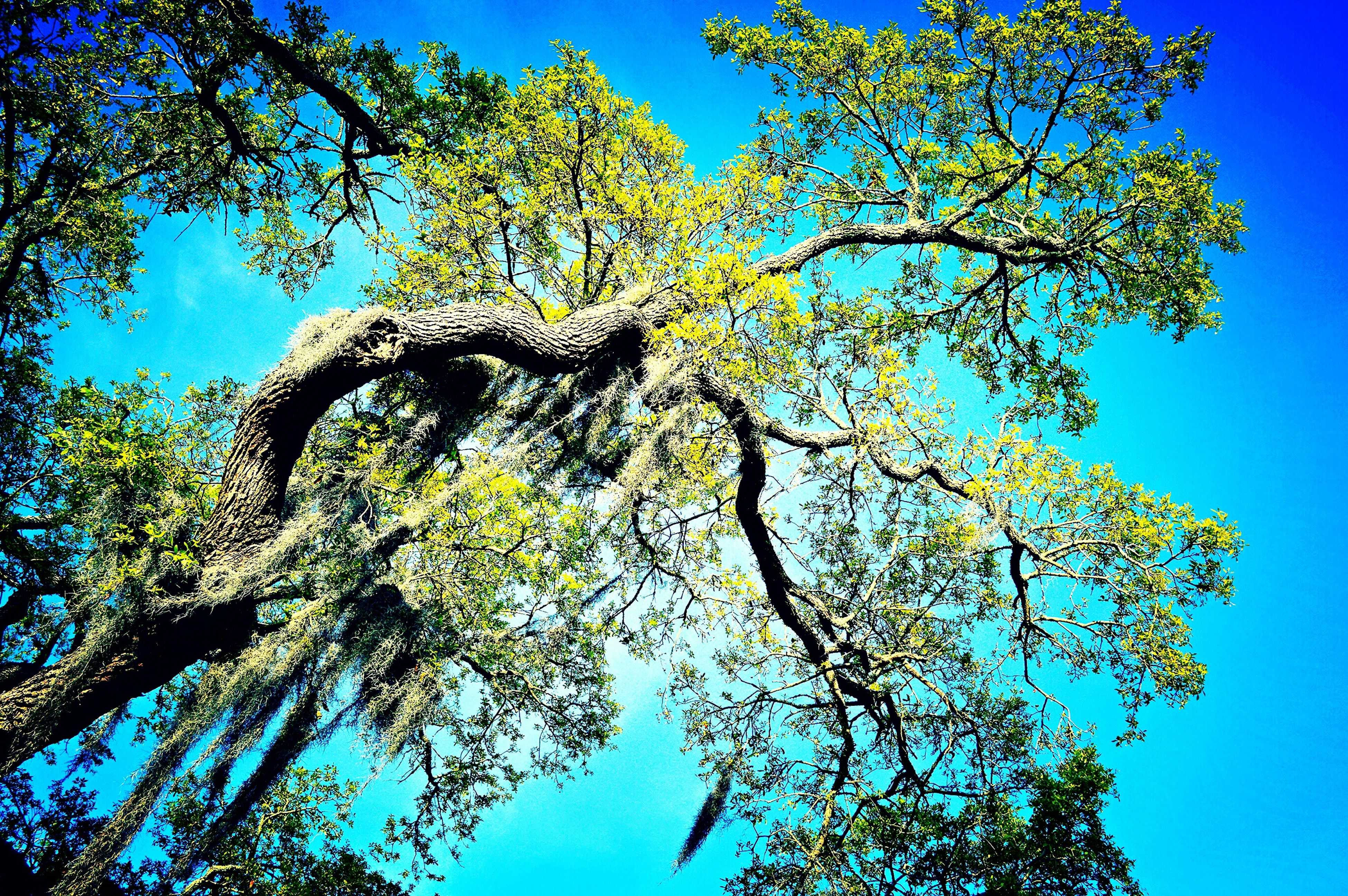 low angle view, tree, blue, clear sky, branch, growth, nature, beauty in nature, tranquility, sunlight, sky, scenics, outdoors, day, no people, high section, treetop, copy space, tree trunk, tranquil scene