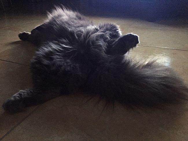 Zufolo Gatto😸 Gatto Chats Cat Lovers Gatti Cat♡ Chat Cats Cat